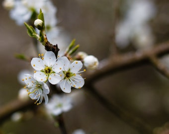 Instant download - White Blossom