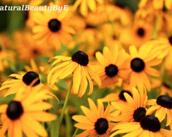 Black Eyed Susans, flower photography, nature photography, garden flower, summer, wall art, nature, fine art print