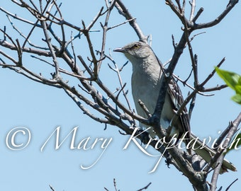 Songbird Northern Mockingbird, Nature Photography, Wildlife Photography, Fine Art