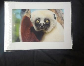 Sifaka lemur photo