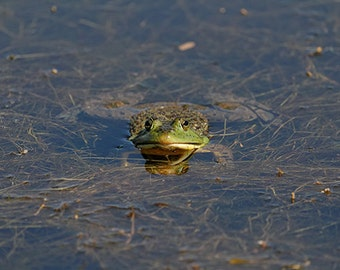 Frog on Water Plants