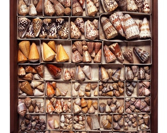 Drawer #23 - The Read Family Shell Collection