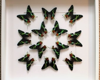 Large Display of Sunset Moths