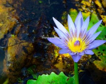 Digital Download,Purple and yellow water lily in a pond