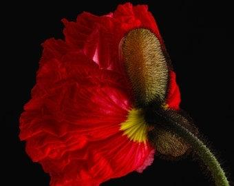 Poppie - Flower still life  fine art photography