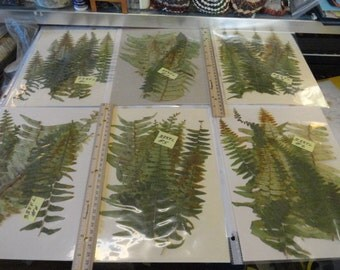 SALE  Real Fern Grown in Alaska Pressed, Preserved, Dried 338 FL