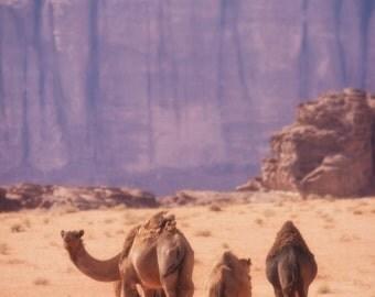 Desert Camel Caravan Metallic Photograph