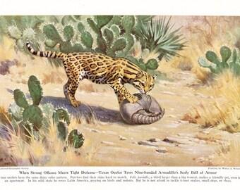 1940s Ocelot Print -  Vintage Antique Animal Zoology Zoo Cat Home Decor Book Plate Art Illustration for Framing