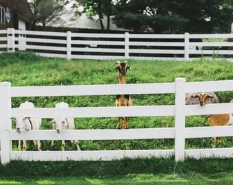 farm photograph goats animal prints boy girl nursery playroom large wall art rustic home decor