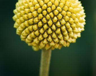 LIVE Craspedia-100 Fresh craspedia-Billy Balls-Billy Buttons-Yellow Wedding Flowers-Bundle of 100 yellow flowers