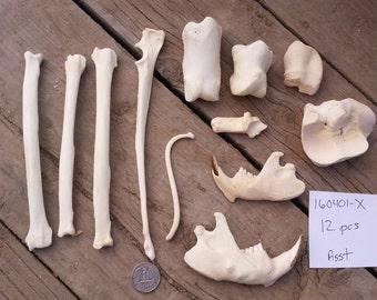 12 Large Assorted Bones - Real Bones- Lot No. 160401-X
