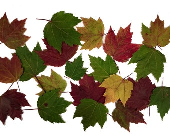 25  Pressed Maple Leaves Variegated Red Unique Deep Red, Maroon & Green Variegations, Perfect for Fall Weddings, Table Decor