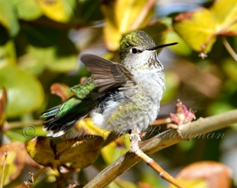 Hummingbird Photos - Hummingbird Fine Art Photograph - Hummingbird Decor - Bird Photography