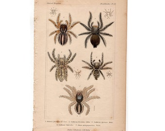 1837 SPIDERS SPIDER PRINT original antique arachnid lithograph  no. 3
