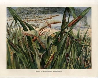 1882 LOCUST SWARM lithograph - original antique insect grasshopper entomology print