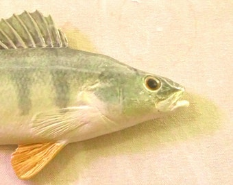Yellow Perch - Greenf and Yellow - 5281&1