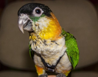 Caique Bird Harness Leash and Case