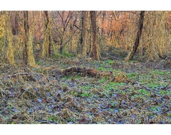 Fine Art Color Photography of Vine Covered Woodland Landscape on Chouteau Island in the Mississippi River
