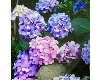 Hydrangeas, Maine Summer Garden, SPECIALIZING in CUSTOM ORDERS