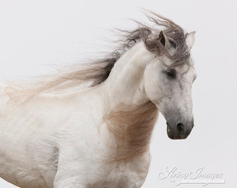White Stallion Running By - Fine Art Horse Photograph - Horse - Andalusian - Fine Art Print