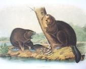 American Beaver Vintage Audubon Book Plate
