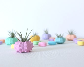 Teeny Tiny Candy Heart Air Plant Urchin Planter Set with Air Plants. Valentine's Heart Pastel Planter Set. With Candy Hearts. Gift wrapped.