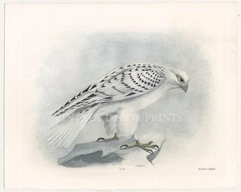 The Greenland Falcon Print, Hand Coloured Original 1911 Engraving by Lilian Marguerite Medland. Antique Birds of Prey Print, Home Wall Decor