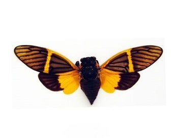 """3-3.5"""" Real Khuana Electra spread dried insect and wings bug taxidermy"""
