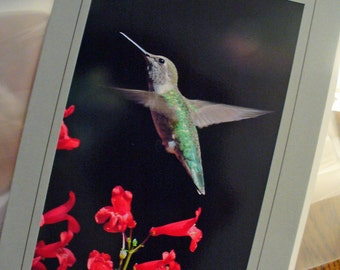 Anna's Hummingbird Female Gray Green Bright Red Flowers, Birthday Card, All Occasion, Father's Day Card, Blank Greeting Card, Photo Card