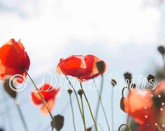 Dutch Red Poppy wall decor/fine art/Flower Photo/Landscape Photography/Nature Photography/Poppy Art/Digital Download/Stockphoto/Background