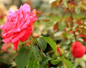 Hot Pink Rose in a Cottage Garden Photo - Spring Flower Photography - Size 8x10, 5x7, or 4x6