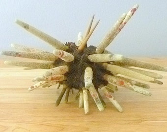 "Spiny Slate Pencil Sea Urchin 8"" large spines preserved sealife taxidermy dried house decor unique gifts collectible curiosities"