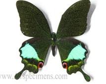 Papilio Karna Karna A1 Butterfly Specimen