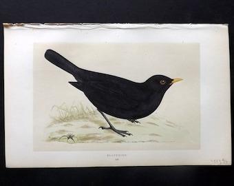 Morris 1857 Antique Bird Print. Blackbird