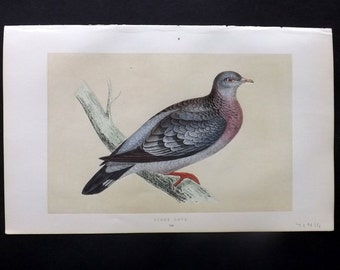 Morris 1857 Antique Bird Print. Stock Dove