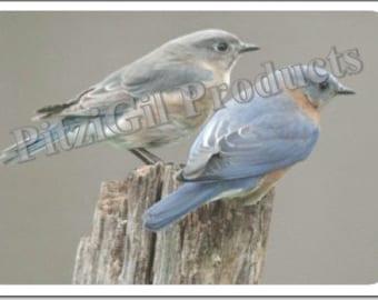 Note Cards:  Bluebird Pair photo notecard