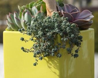 Brings Joy - Dreamy Succulent Garden w/Echeveria, Aeonium, Cape Blanco Plants in Square Planter