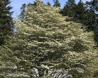 Pacific Dogwood Tree Seeds, Cornus nuttalli - 25 Seeds