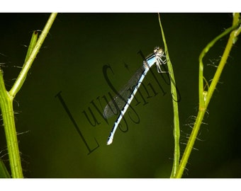 Dragonfly Slumber Photograph