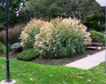 Adagio Dwarf Maiden Grass ( miscanthus ) - Live Plant - Quart Pot