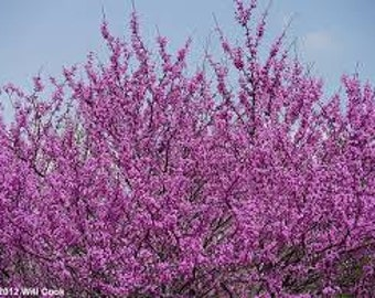 REDBUD TREE SEEDS 10 Fresh seed ready to plant in your garden and yard