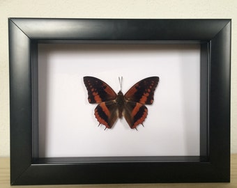 Real Butterfly // Charaxes cynthia // Taxidermy Butterfly // Framed Butterflies // Dried Butterflies