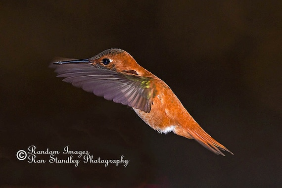 Rufous hummingbird nature photograph printable art