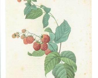 Botanical Print Vintage Book Plate Redoute Artwork Framboisier Rubus