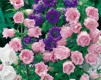 50+ Campanula Mix Single Canterbury Bells / Perennial Flower Seeds