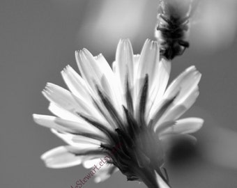 Flower Print, Black and White, The Visitor, Bee, Daisy, bedroom decor, monochrome, flower photograph home decor, decor