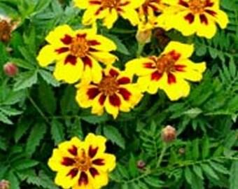 Marigold Dainty Marietta * 50 Seeds