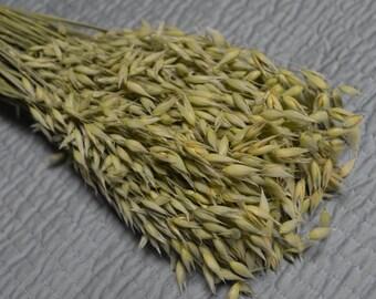 Oats, Aveena oats, Dried grains  - Large Bunch