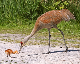 Gift for Mom, Baby Animal Print, Crane, Mother and Baby, Gift for Mother, Nature Photography, Gift for Mom, Bird Print, Baby Animals