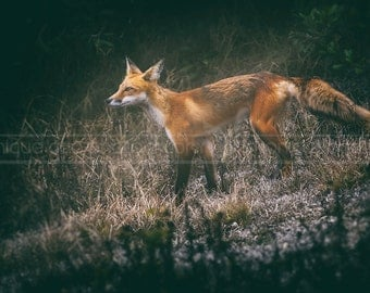 Red Fox in the Forest - Fine Art, Photo, Print, Wildlife Animal Photography, Nature, Landscape, Home Office Decor, Wall Art